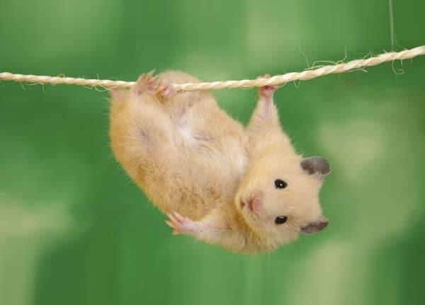 veterinario roedores