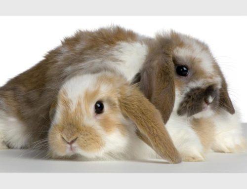 Enriquecimiento ambiental para conejos