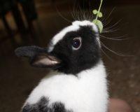 Conejo enano